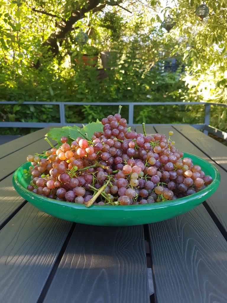Nyhøstet Summerset seedless druer