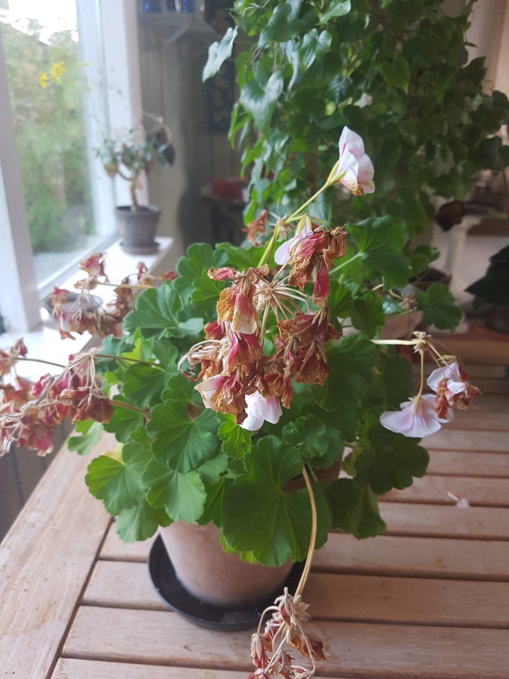 Alle visne blomsterstilker og blader fjernes før overvintring.