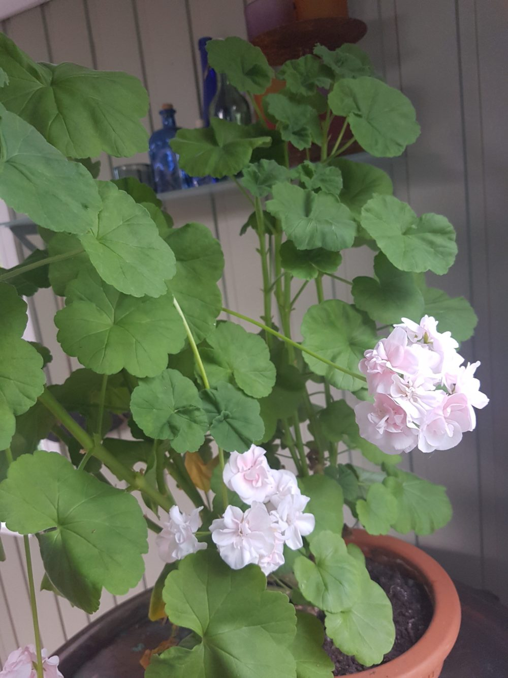 "Pelargonium ""Dronning Ingrid"" har blomstret med mengder hele sommeren."