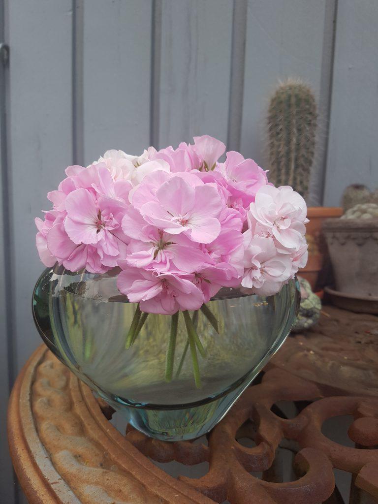 Samle blomsterstilkene fra flere Pelargoniaer i en bukett. De står flott i vase og har god holdbarhet.