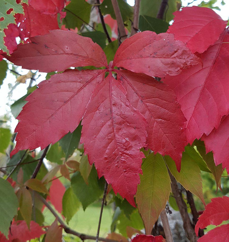 Intenst røde blader på Villvin i disse dager.