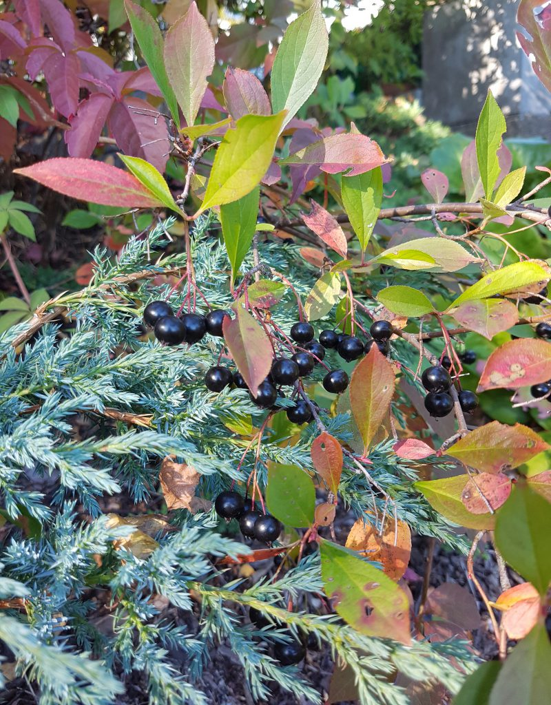"Juniperus ""blue carpet"" sammen med Villvin og Aronia"