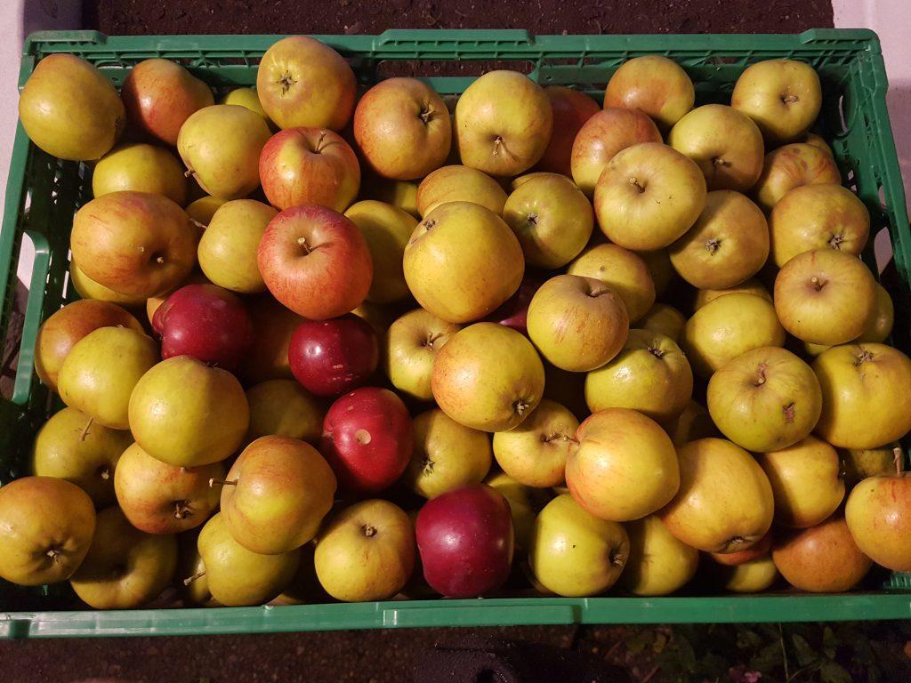 En kasse med Ripston epler (noen enkle Rød Torstein som fulgte med)