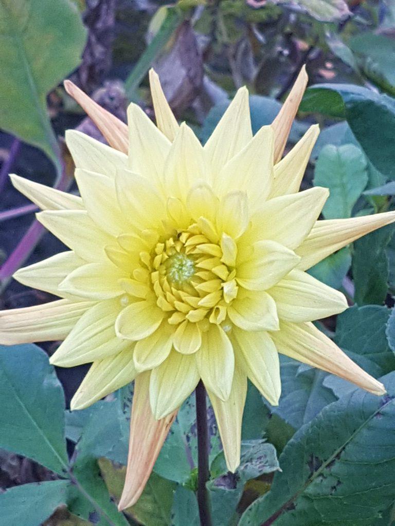 Her er blomst fra samme plante senhøst. Pussig men de skifter farge mot slutten av sesongen.