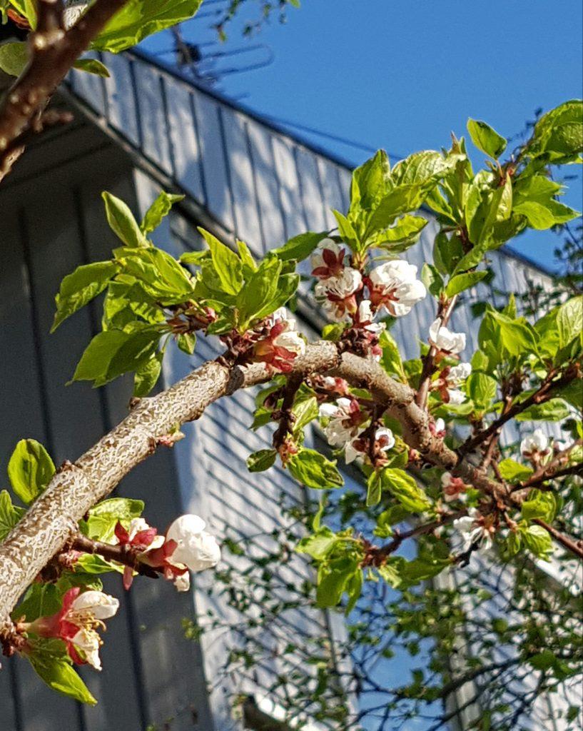 Aprikos blomster