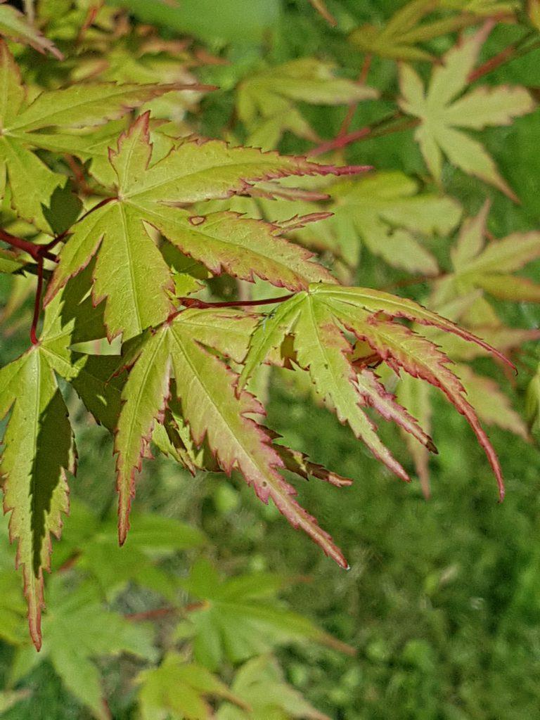 Alle nye blader starter med en rød kant rundt bladet før de blir grønne.