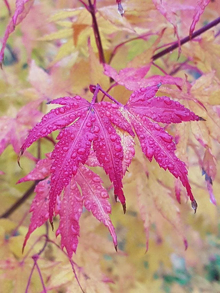 Enkelte blader blir ordentlig røde