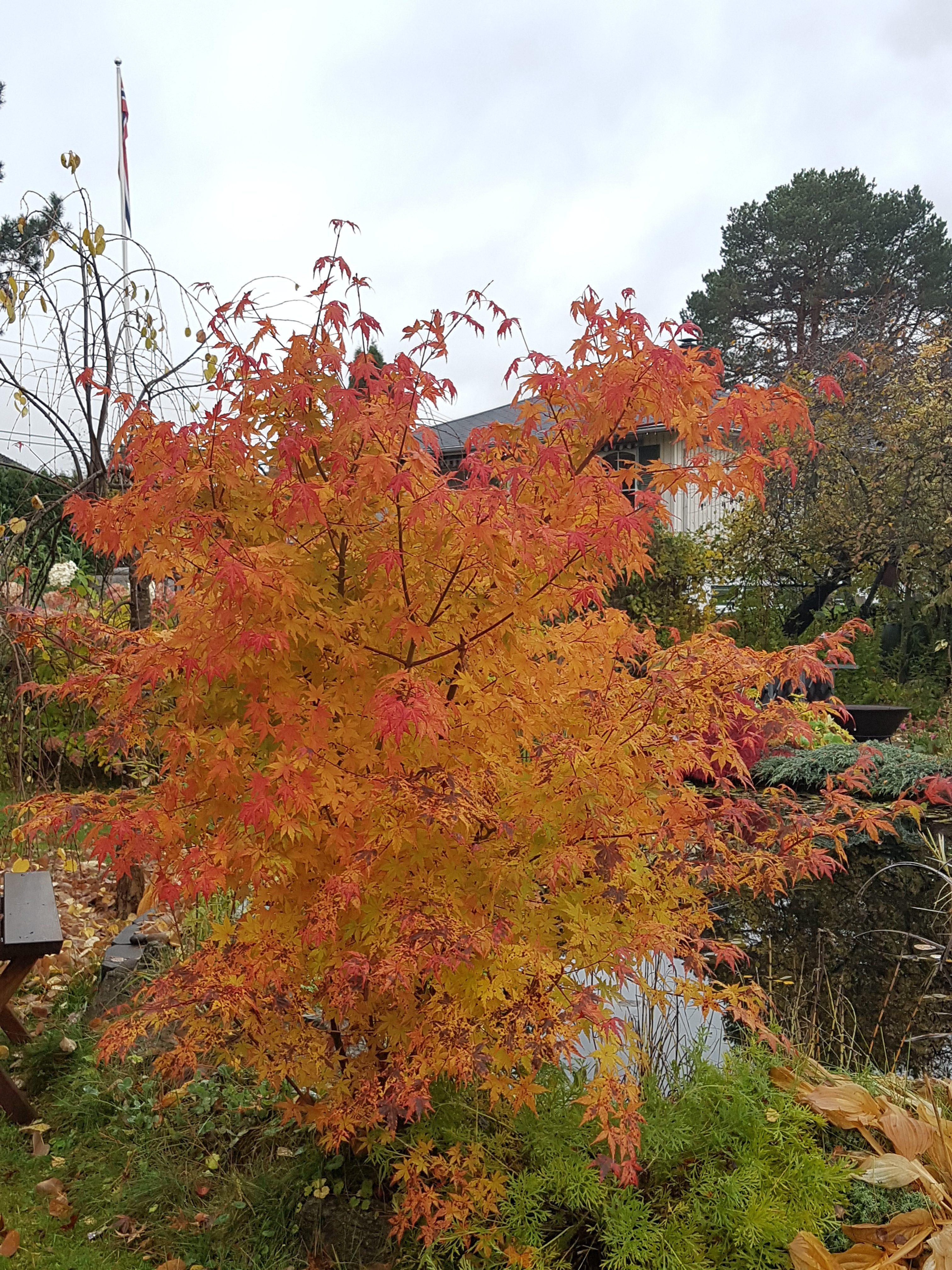 Den siste «brannfakkelen» før frosten kom; Acer palmatum