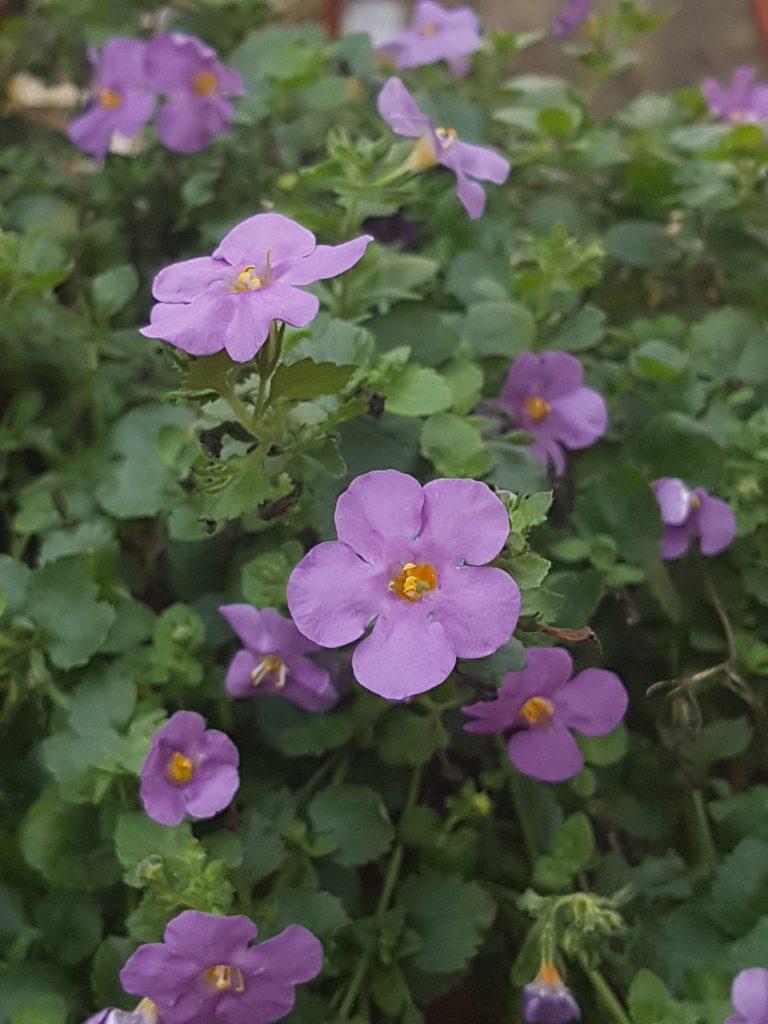 Bacopa i blå/lilla variant med store blomster