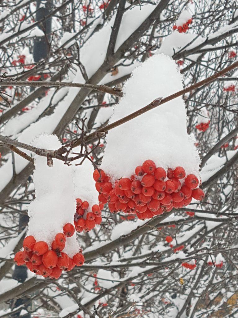 Rødt og hvitt er en flott kontrast, eventyraktig med snøhatter på.