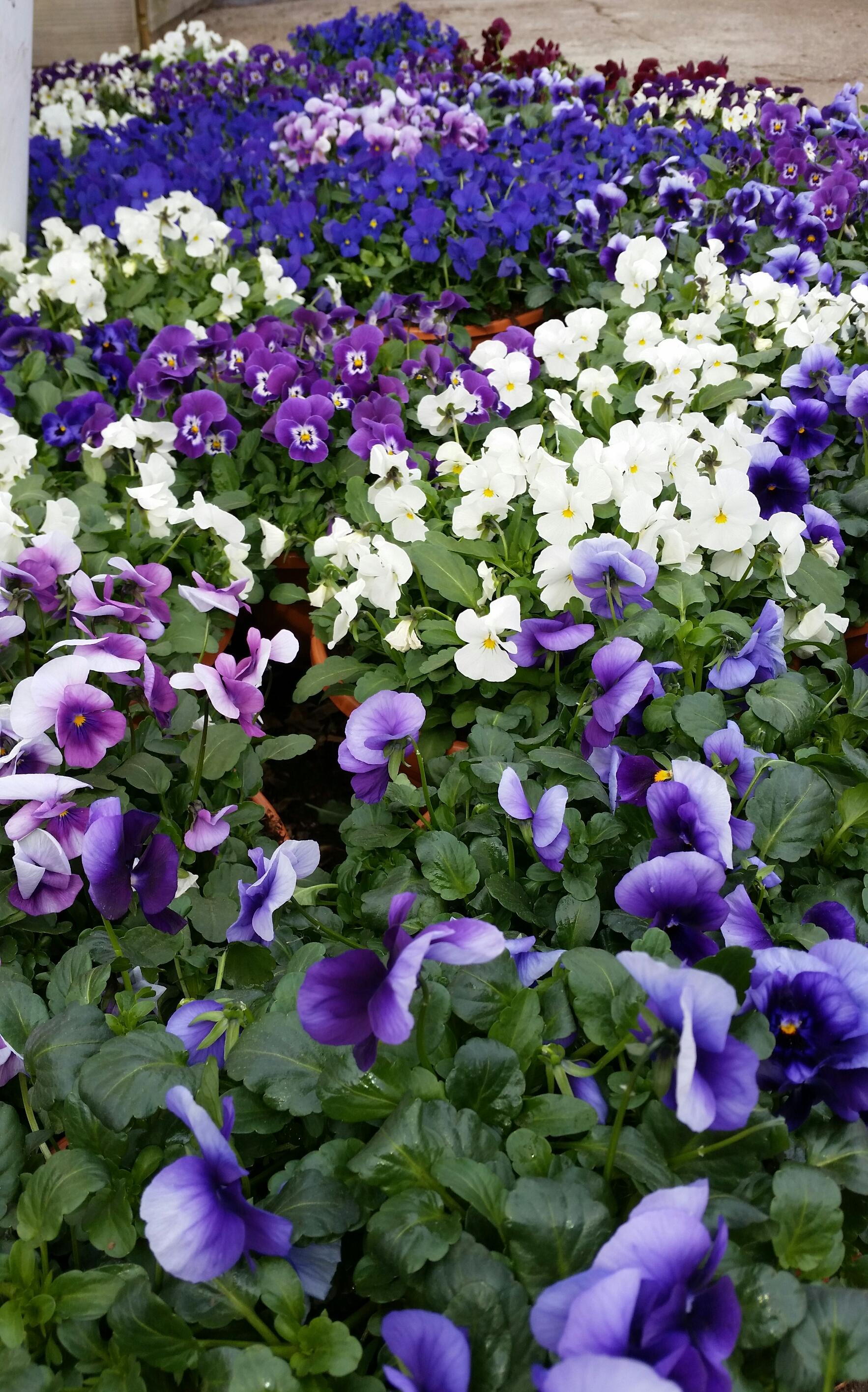 Hva kan plantes ut i potter og bed nå i mars?