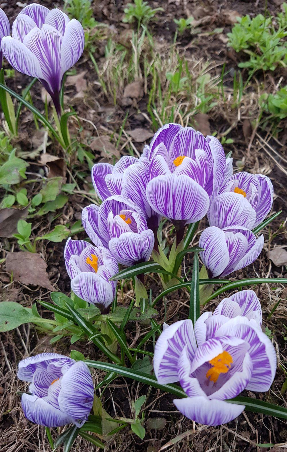 Ikke kast gamle blomsterløk, plant dem på nytt!