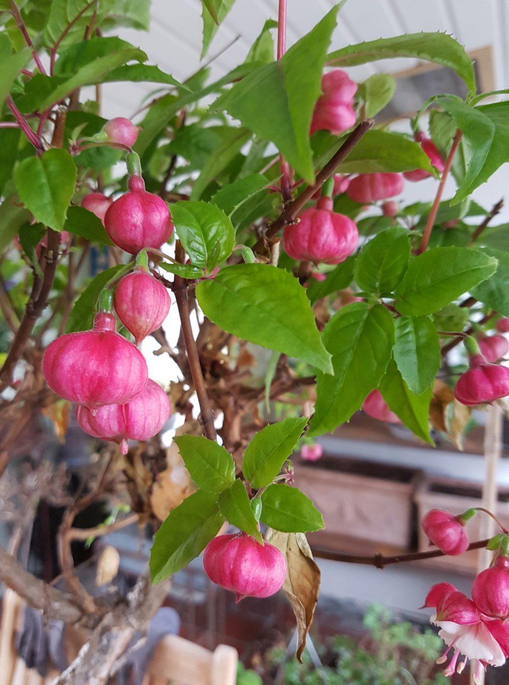 Tid for å beskjære Pelargonia og Fuchsia
