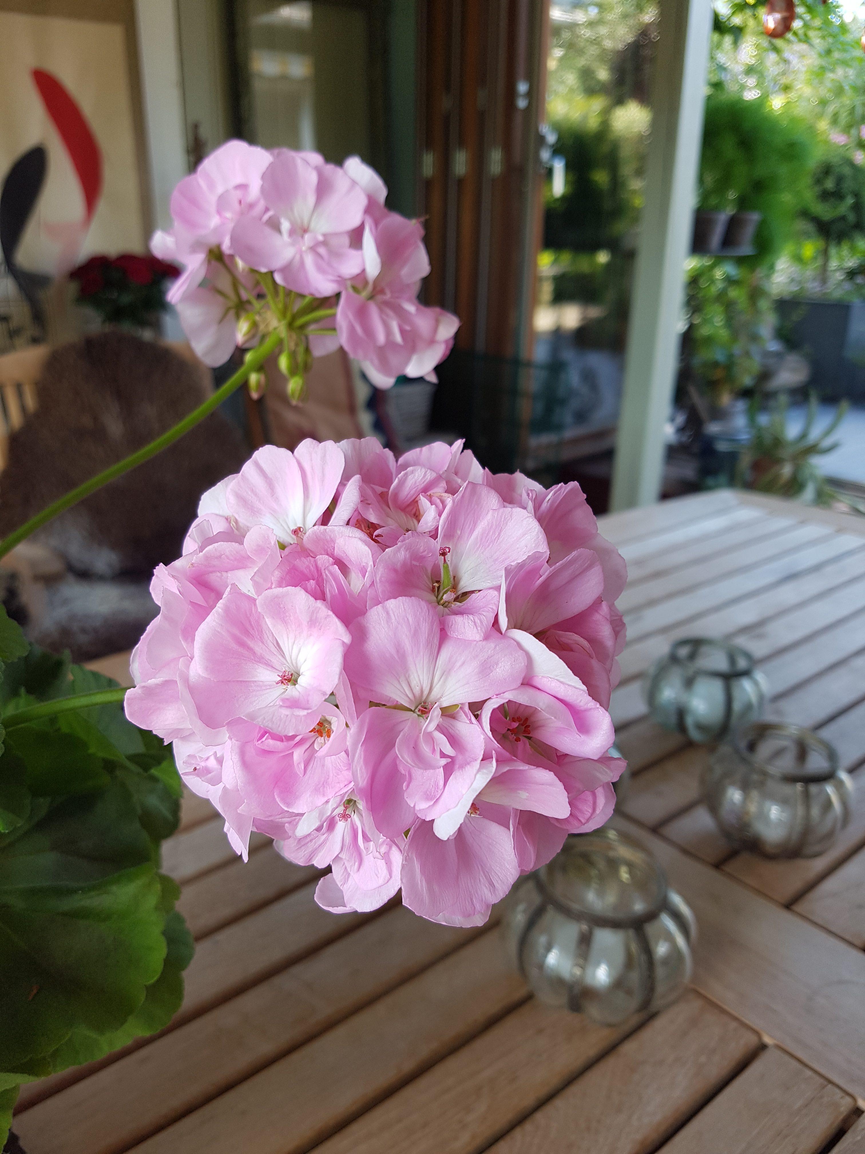 Husk å sjekke Pelargonium og de andre plantene som er i dvale.