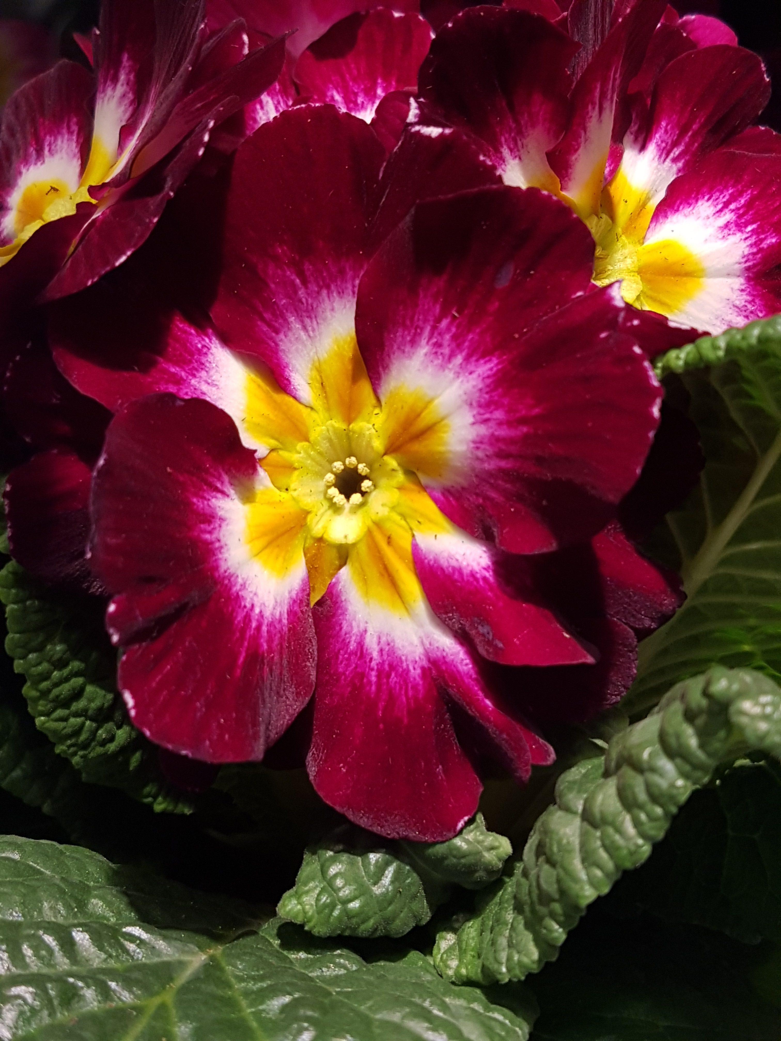 """Primula-""""Den første om våren"""" i nesten alle regnbuens farger"""