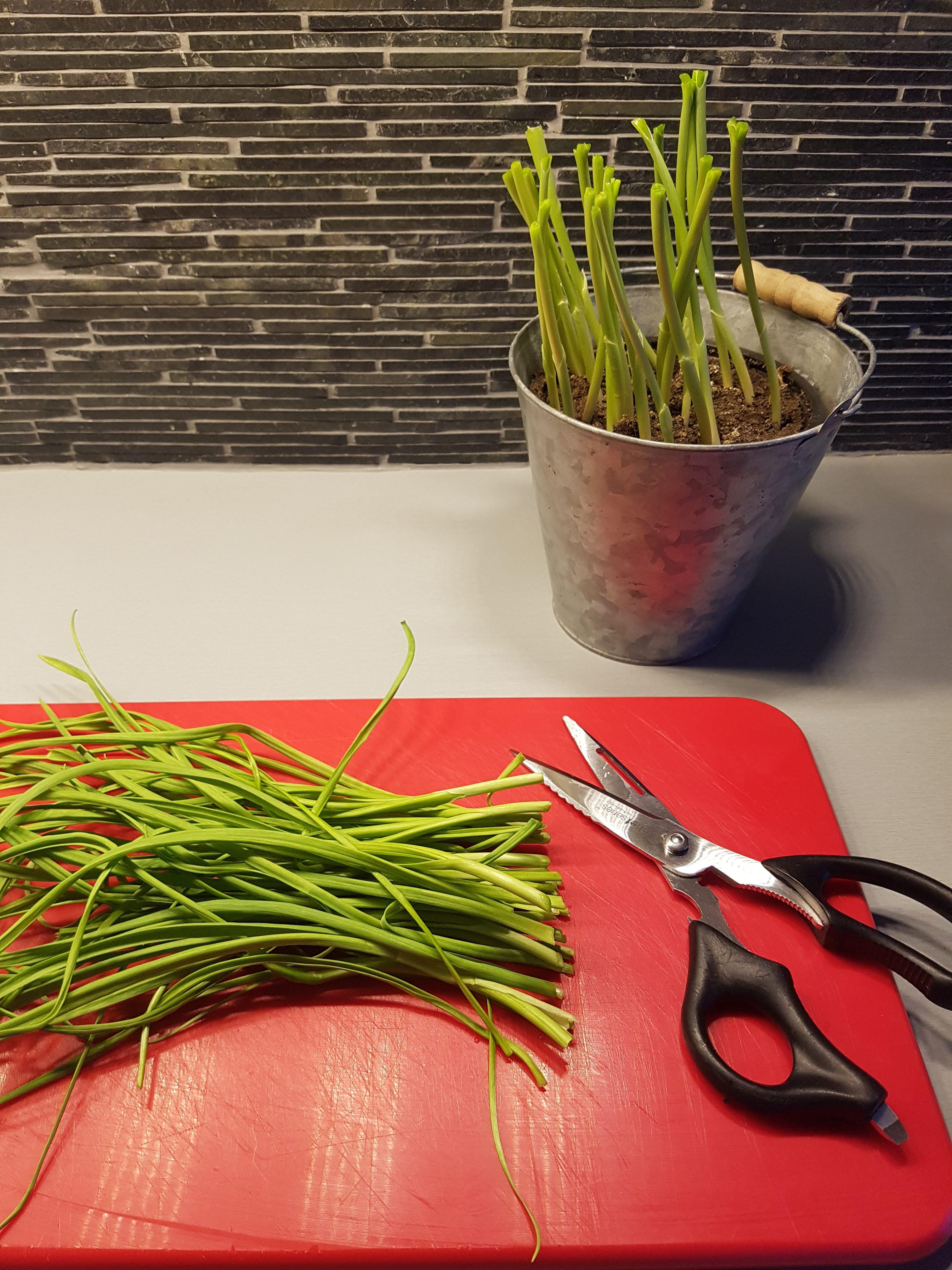 Den herlige grønne hvitløken i kjøkkenvinduet er super å tørke som andre urter