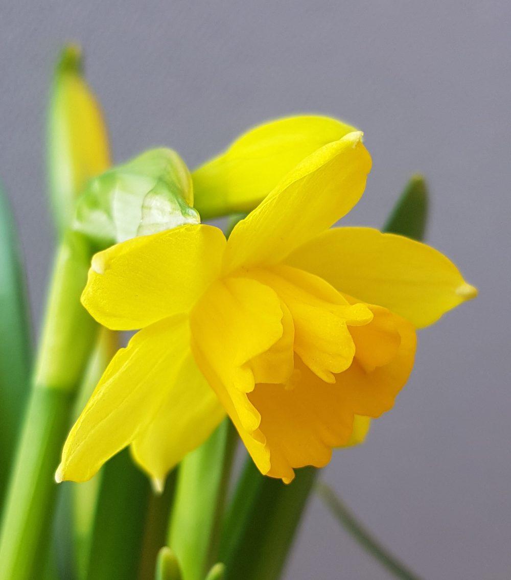 narsiss er herlige vårblomster