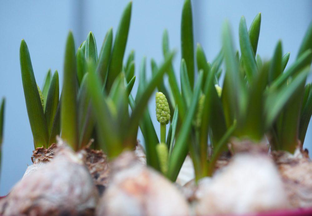 16 vårblomster å sette ut i krukker nå.