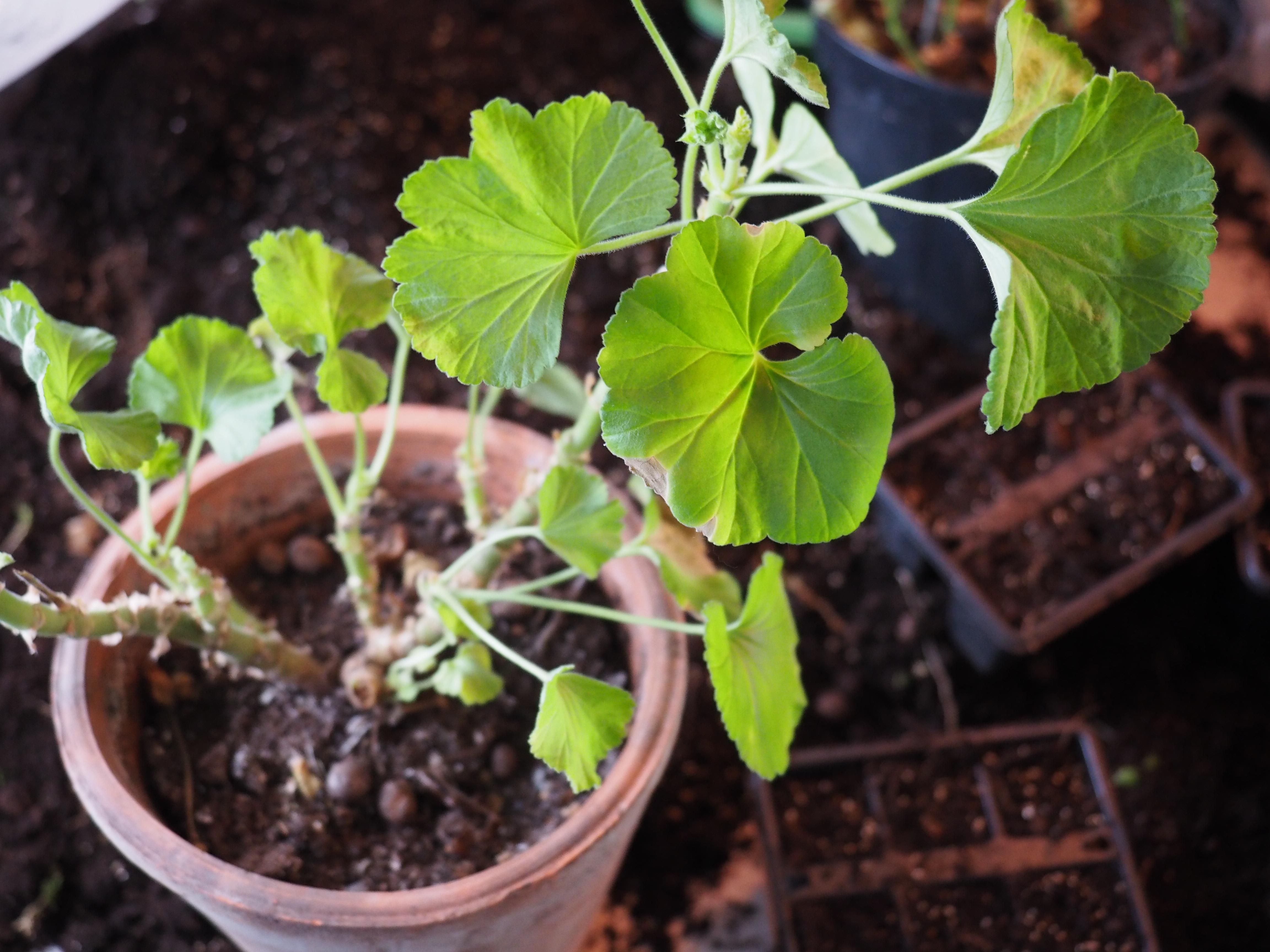 Pelargonia plantene bør få en god start med omplanting før ny vekstsesong.