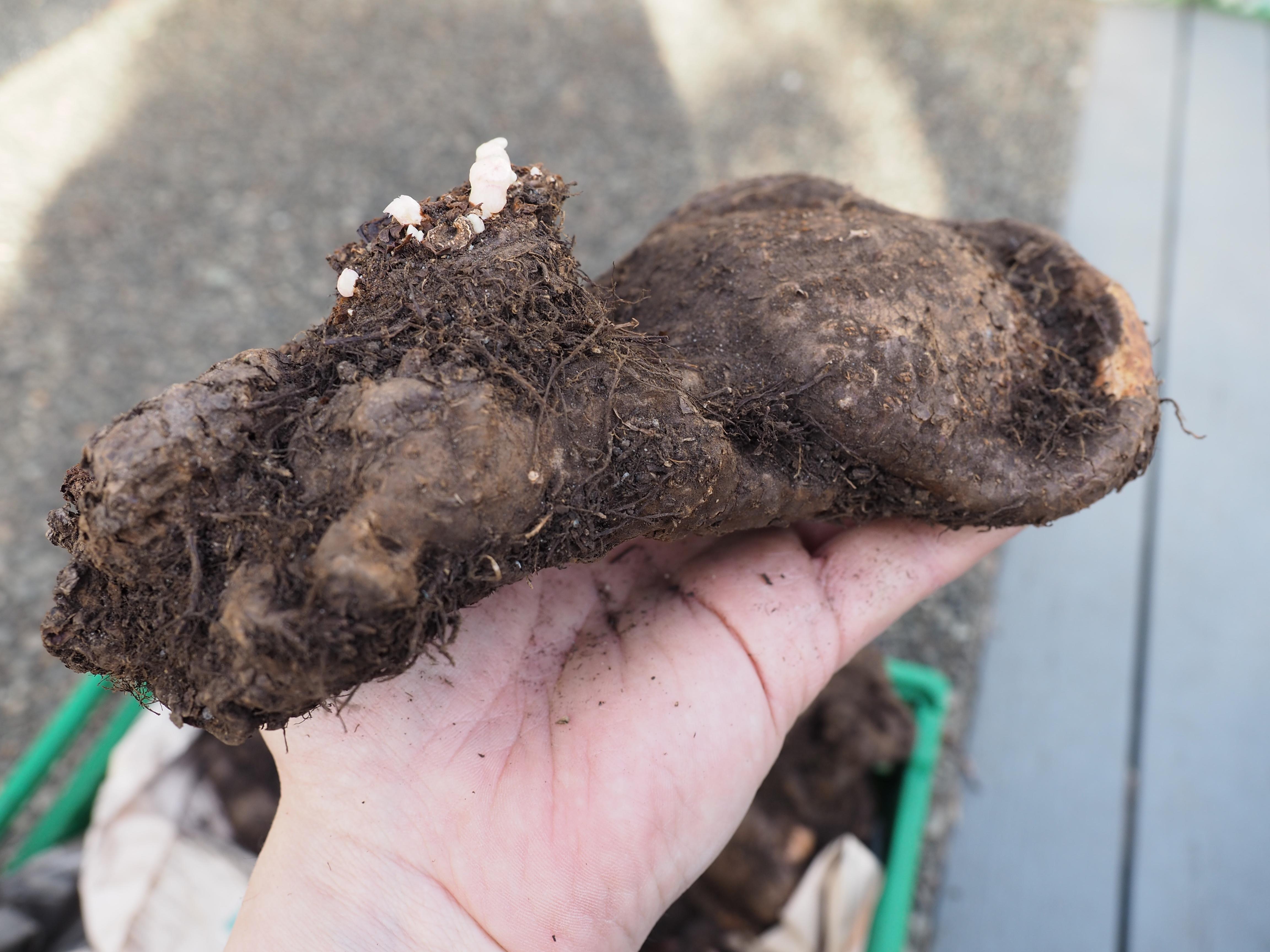Nå er det perfekt tidspunkt å dele en begoniaknoll i to eller flere deler