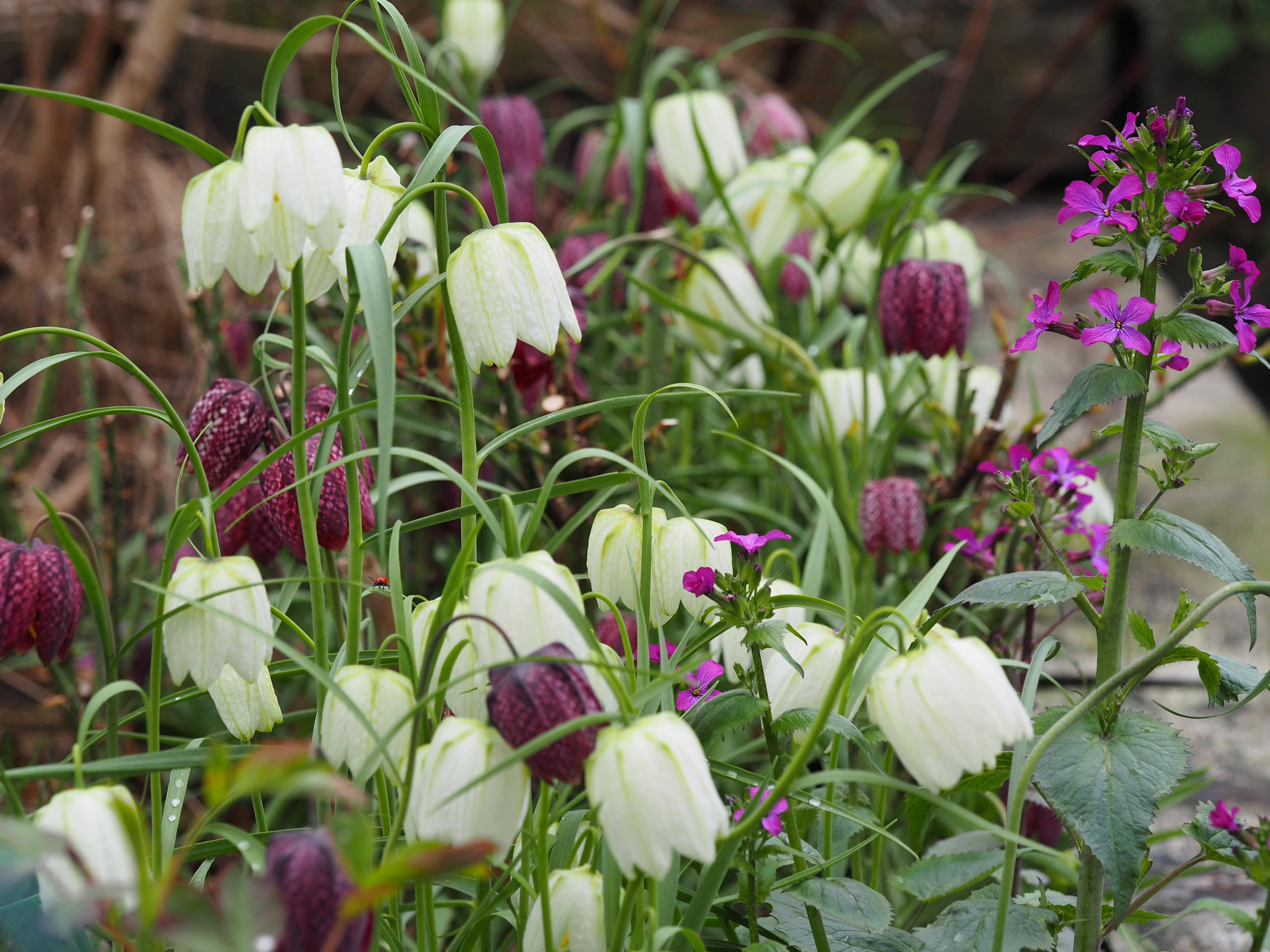 Frø av Rutelilje eller Fritillaria kan såes nå