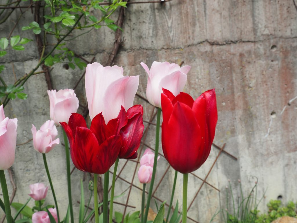 tulipan i vase