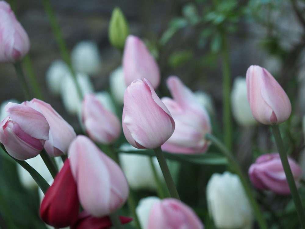 tulipanblomstring