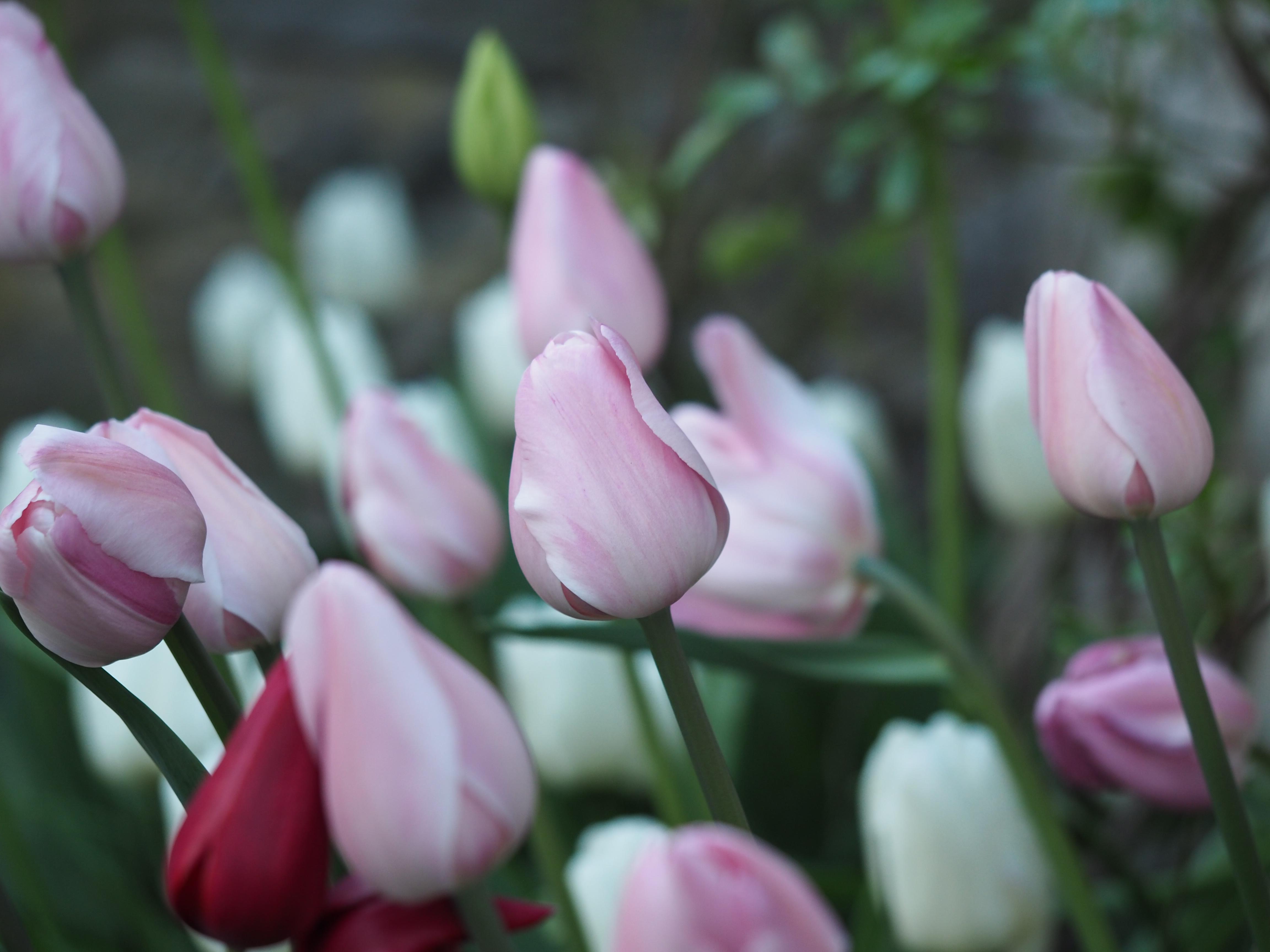 Husk å plante blomsterløk nå for neste års vårblomstring.