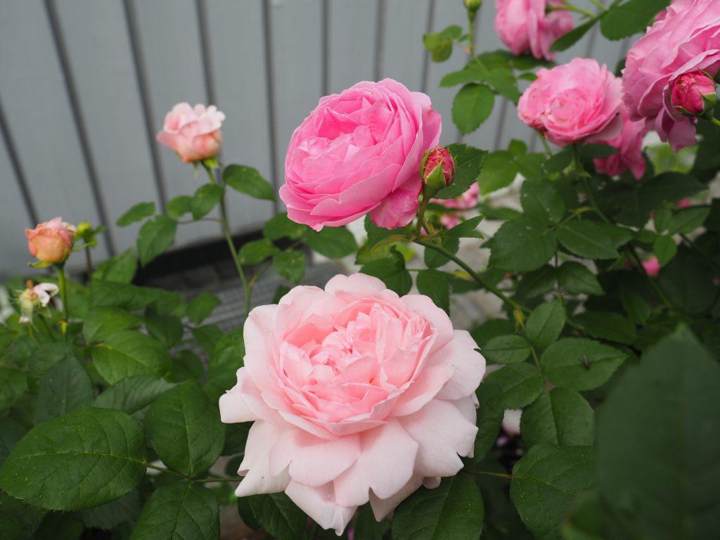 remonterende roser