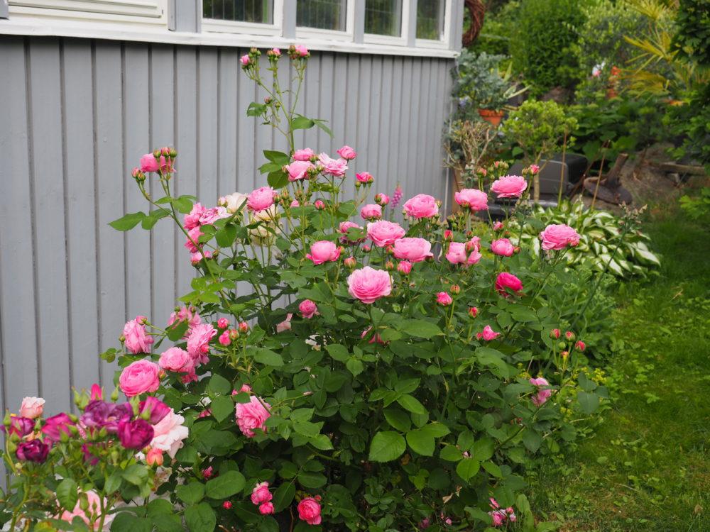 beskjæringstips på roser