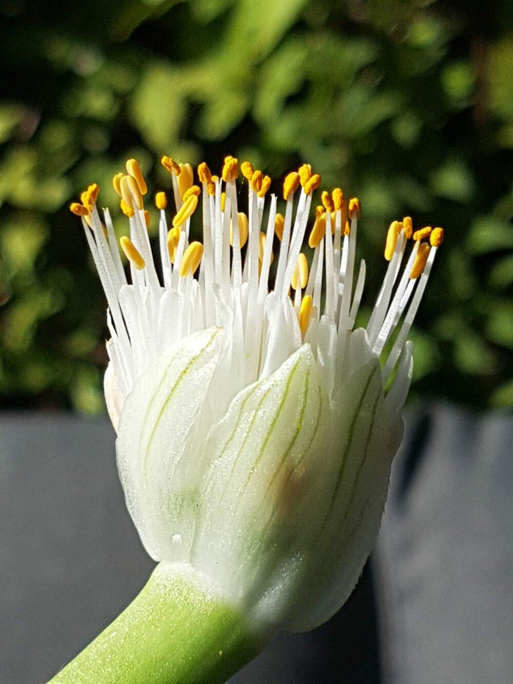 hvit blodblomst