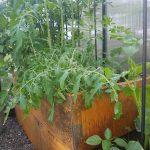 tomater i drivhus