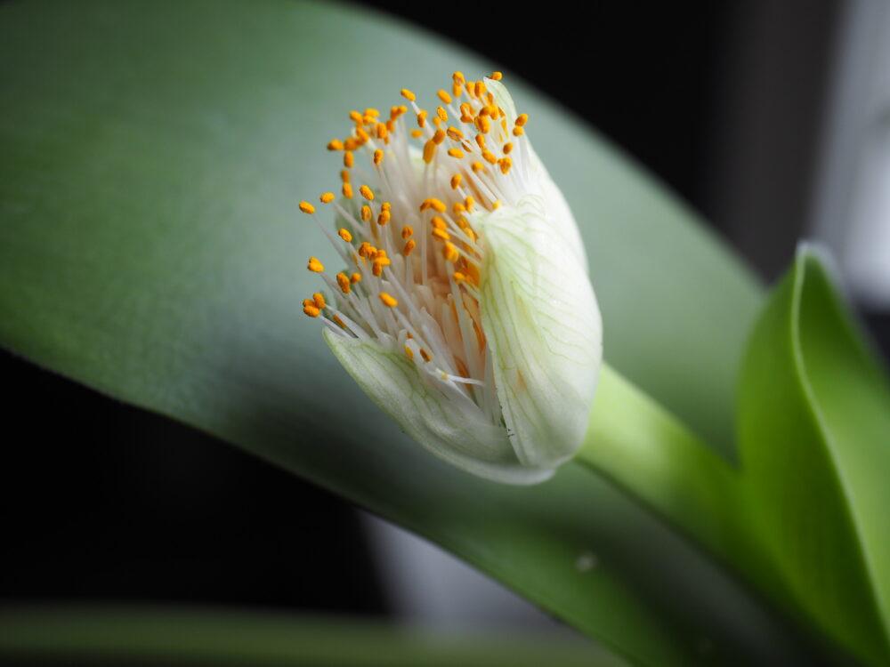 Hvit blodblomst eller Haemanthus albiflos som vekket blomsterinteressen min.