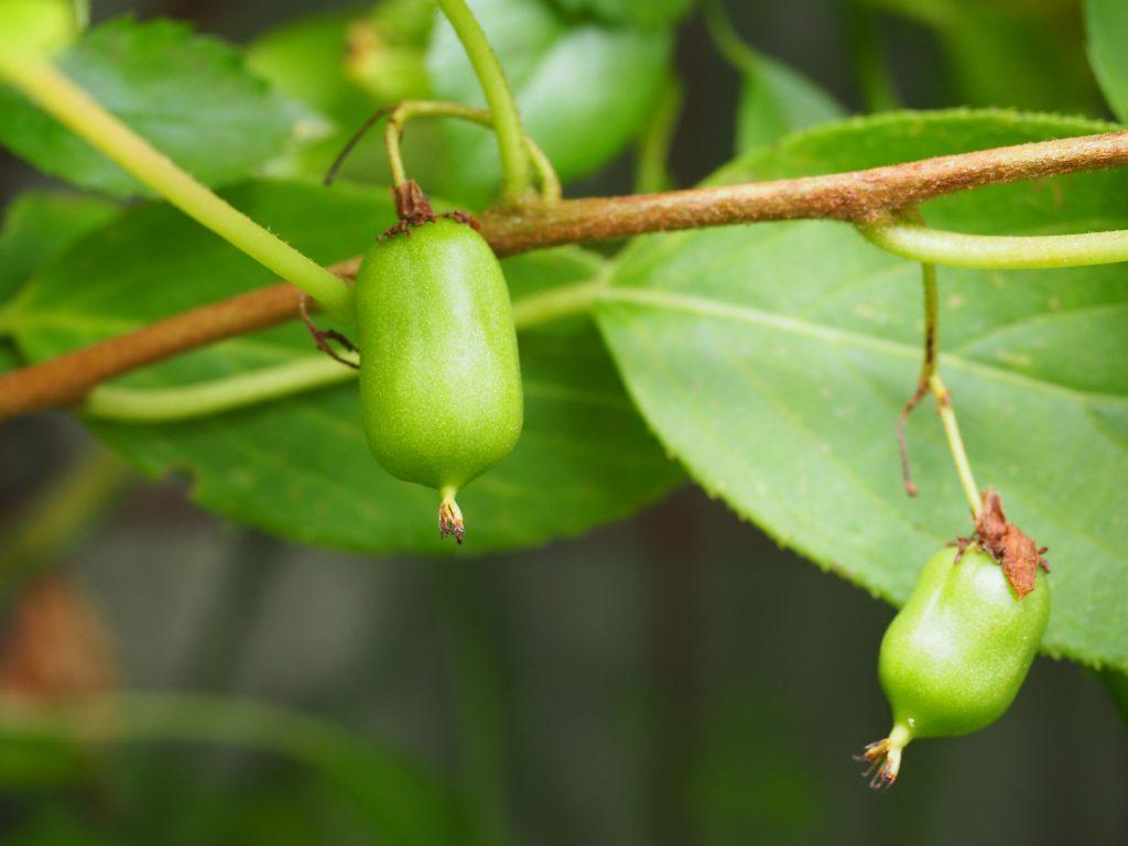kiwiplanter