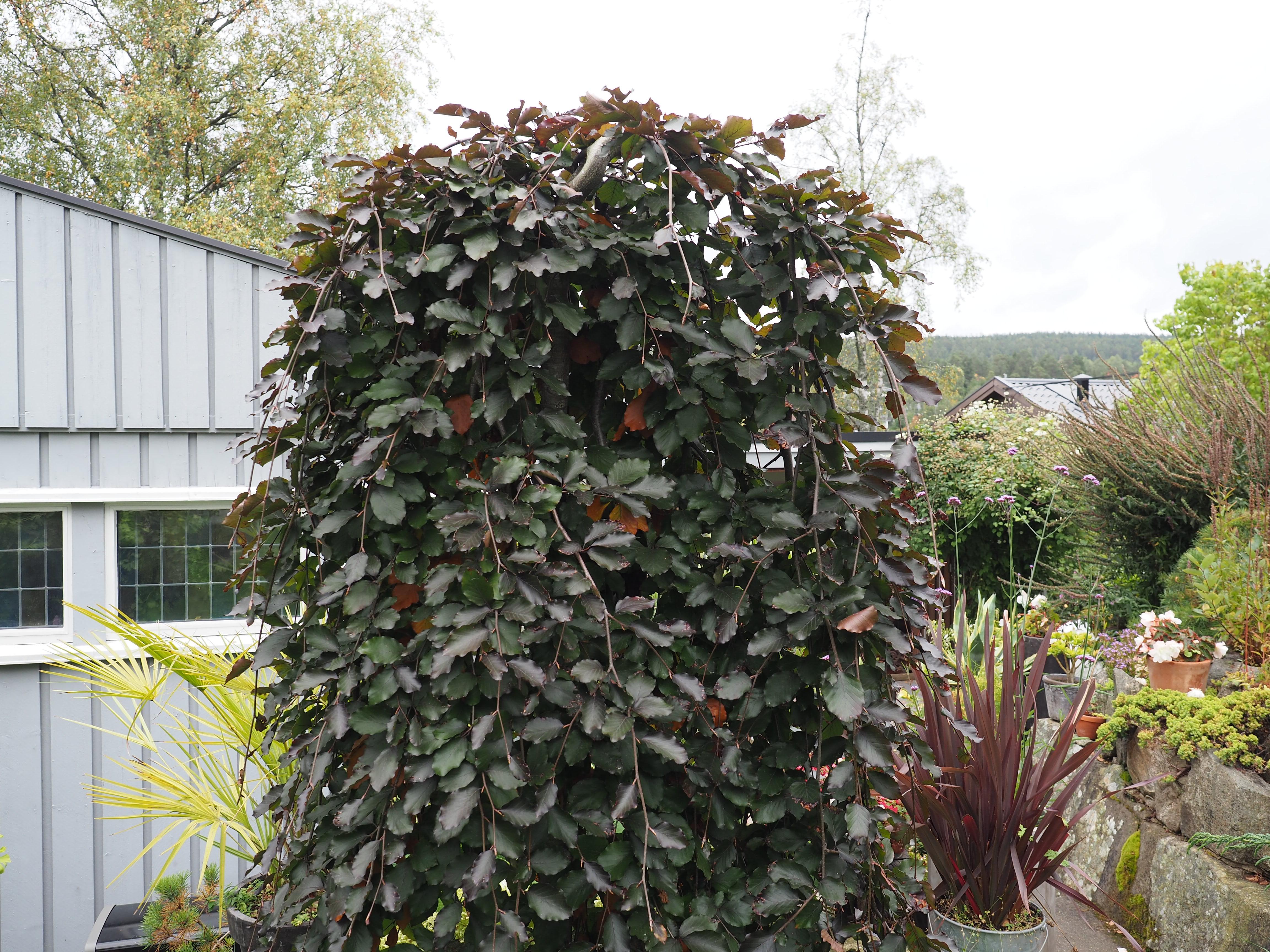Hengeblodbøk er et perfekt lite tre for mindre hager