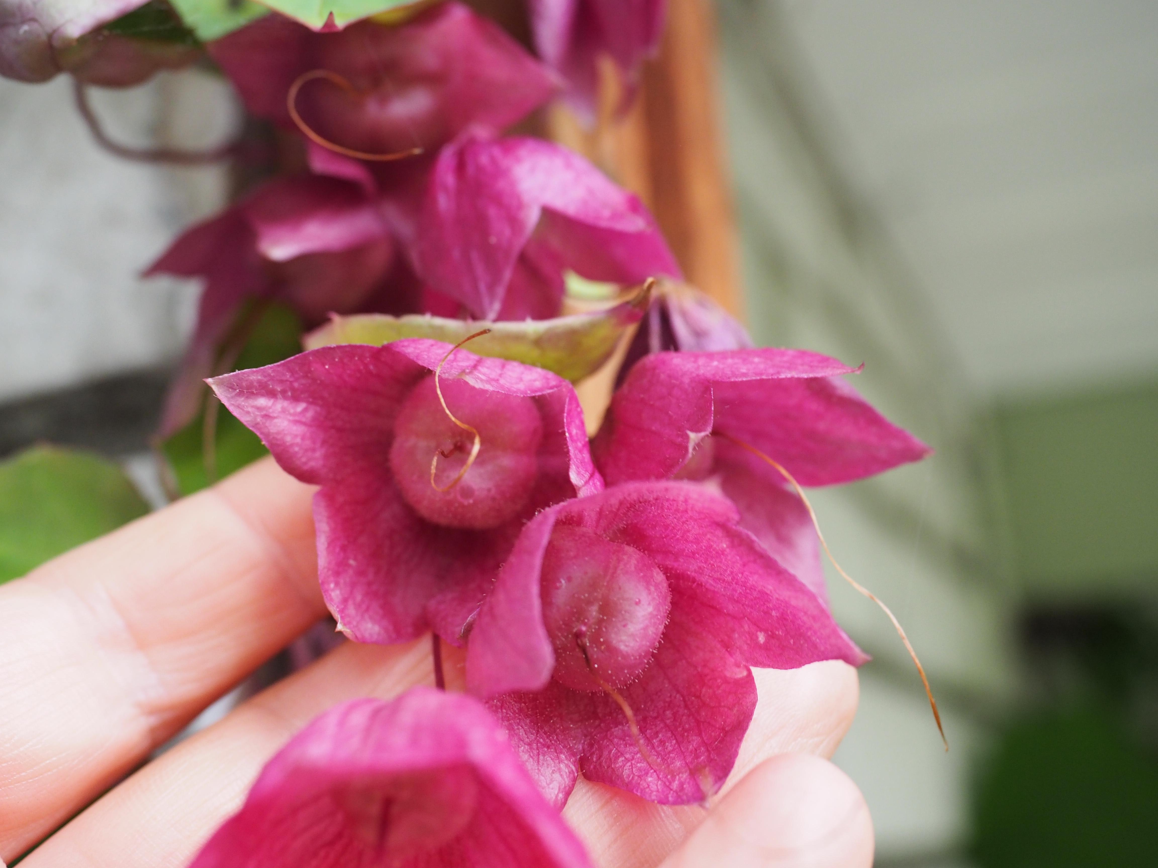 Blodbeger frø er snart modne og klar til neste års planter
