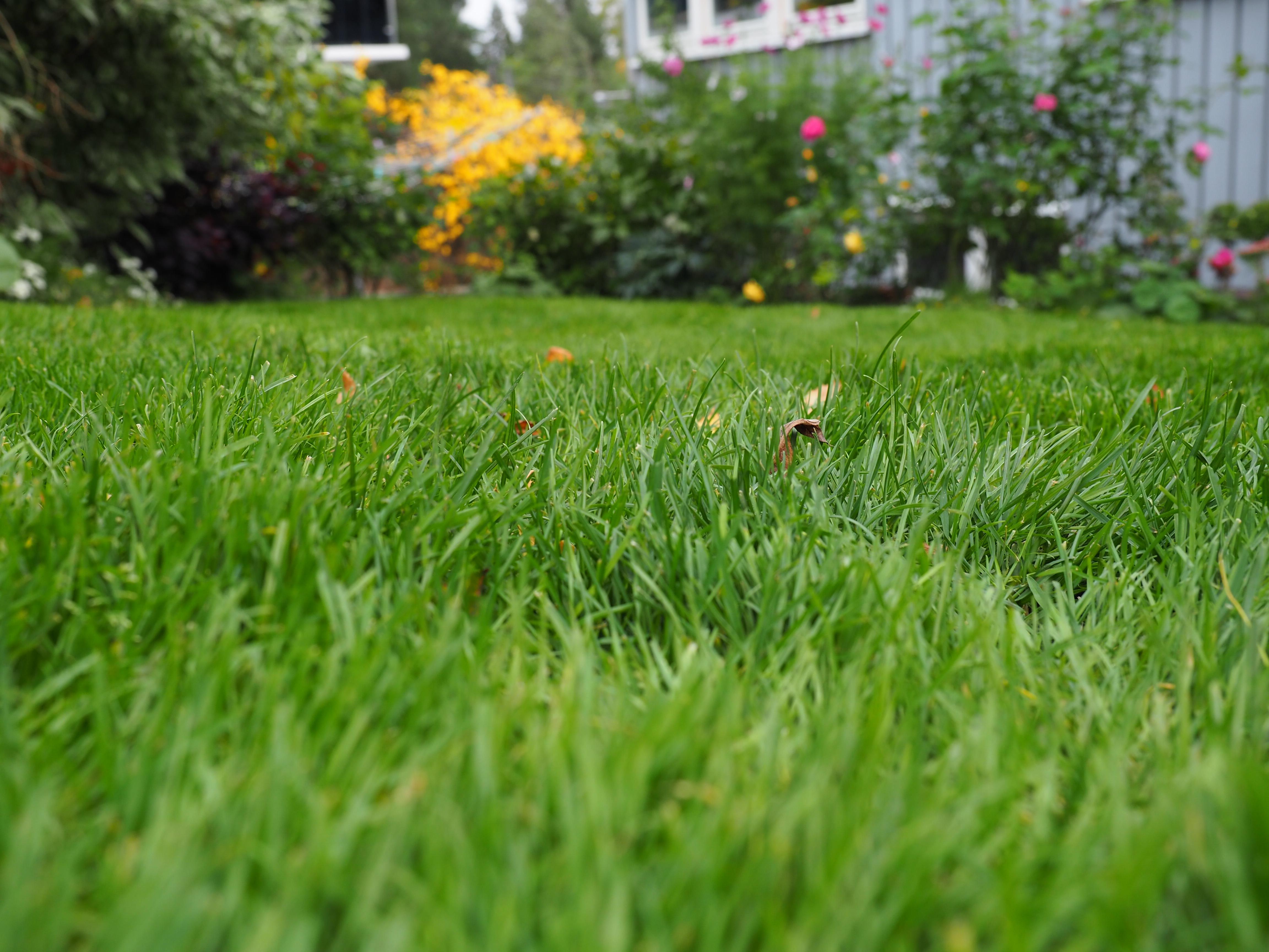 Slik gjør jeg nå for å få grønt gress og fin plen neste år