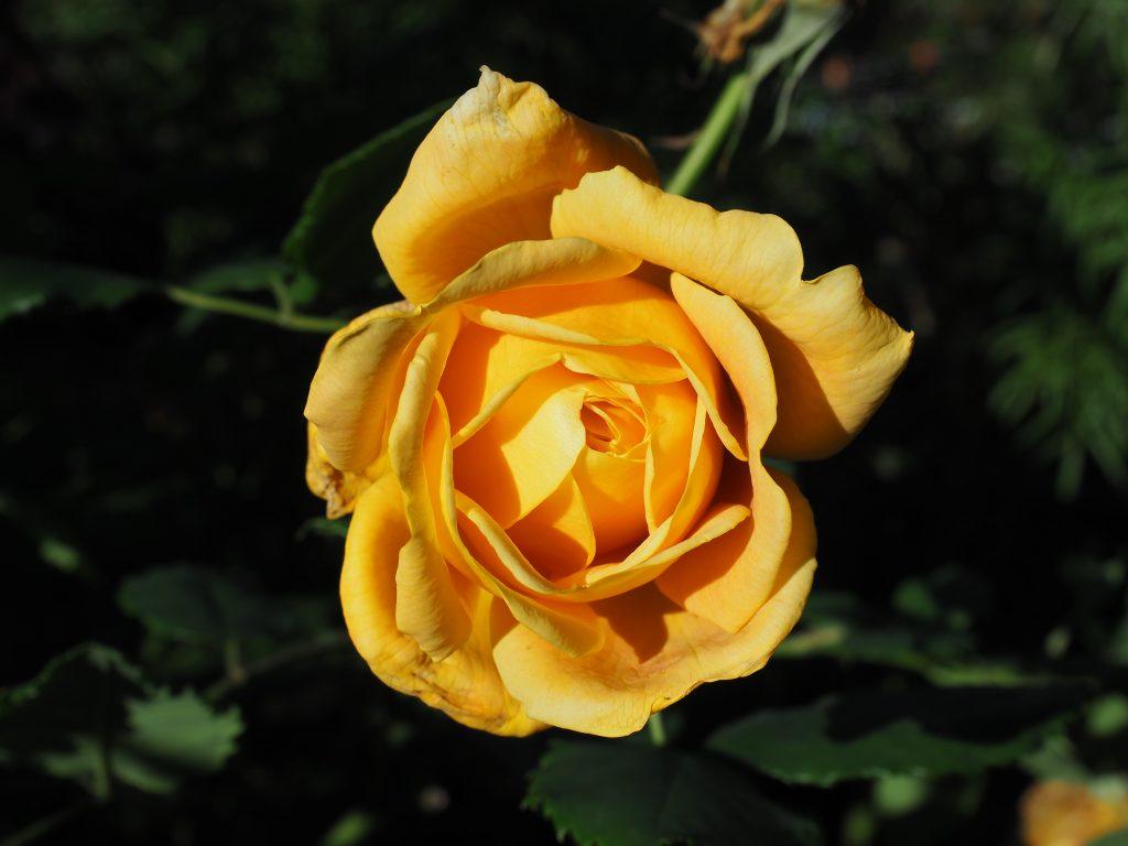 Remonterende rose
