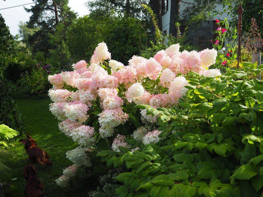Hortensiabusk