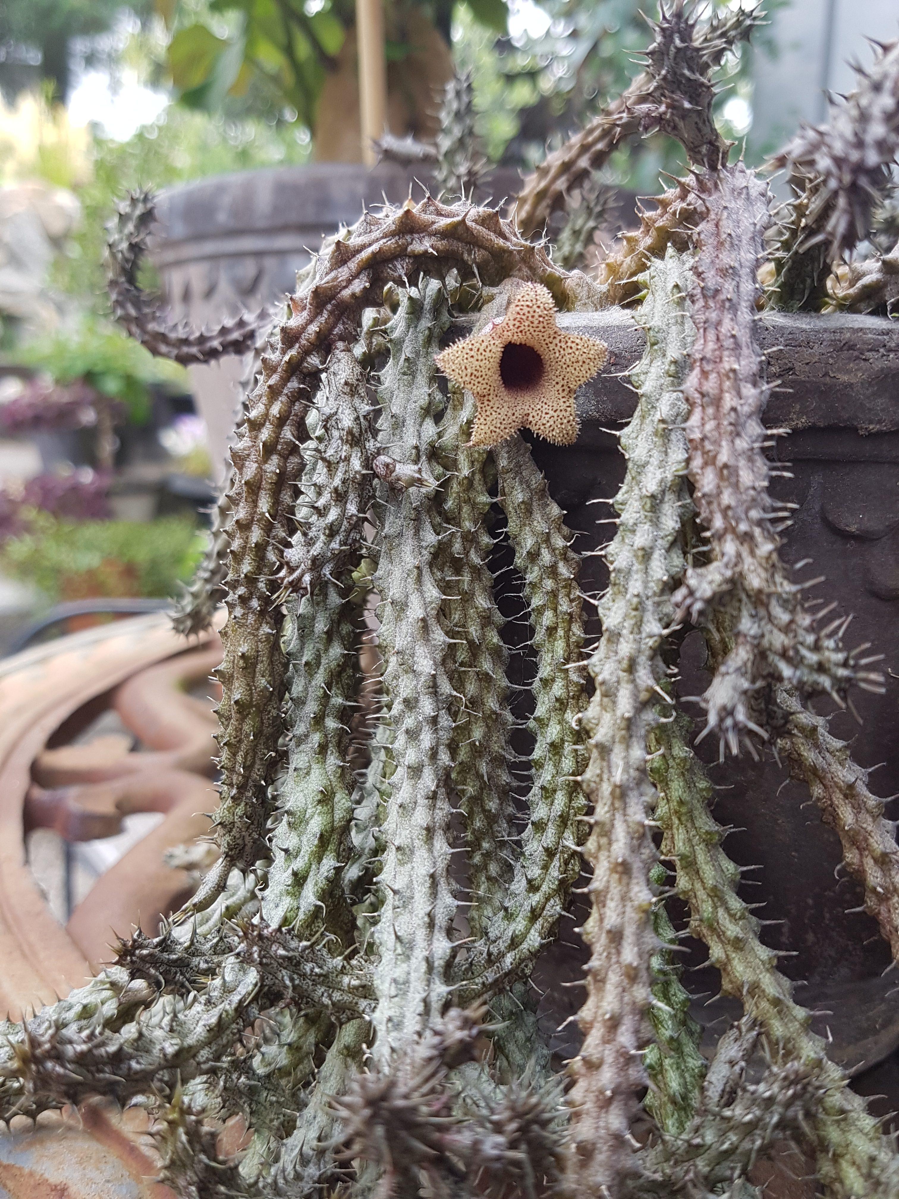 Huernia — sukkulenten med kanskje de særeste blomstene i samlingen min