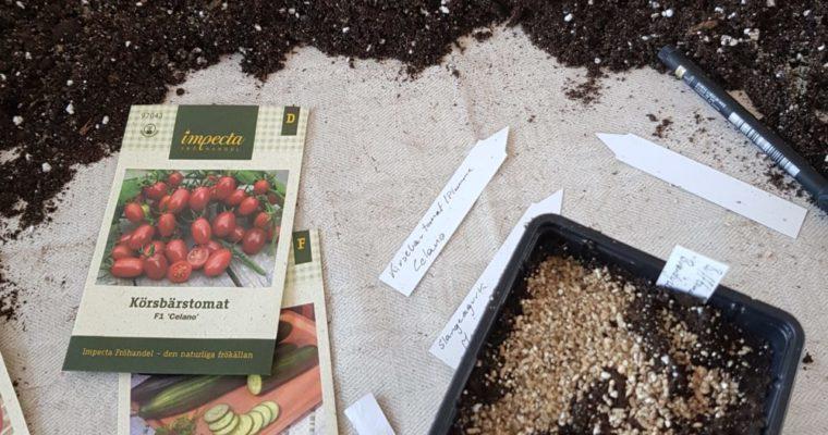 Litt sent ute med å så tomater? Slik får jeg fart på frøene.