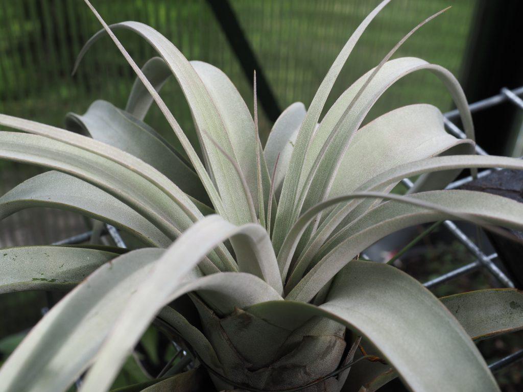 Bromelia epifytt
