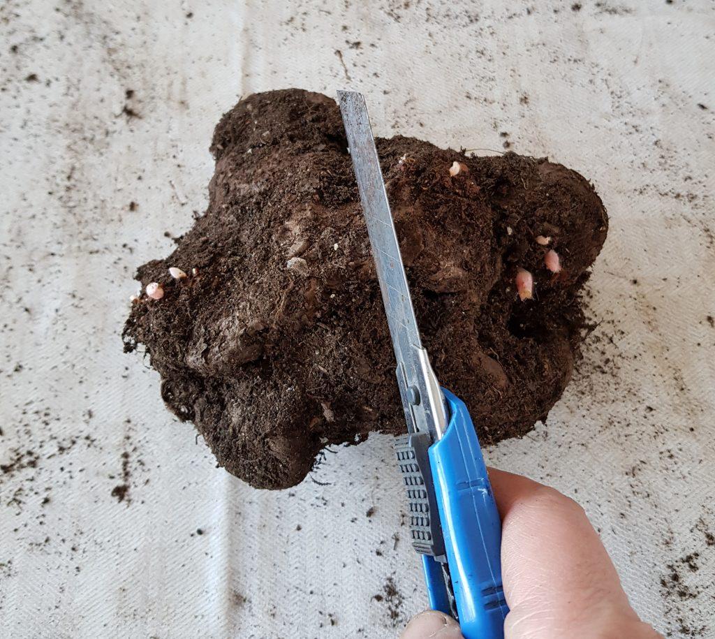 Deling av begoniaknoll