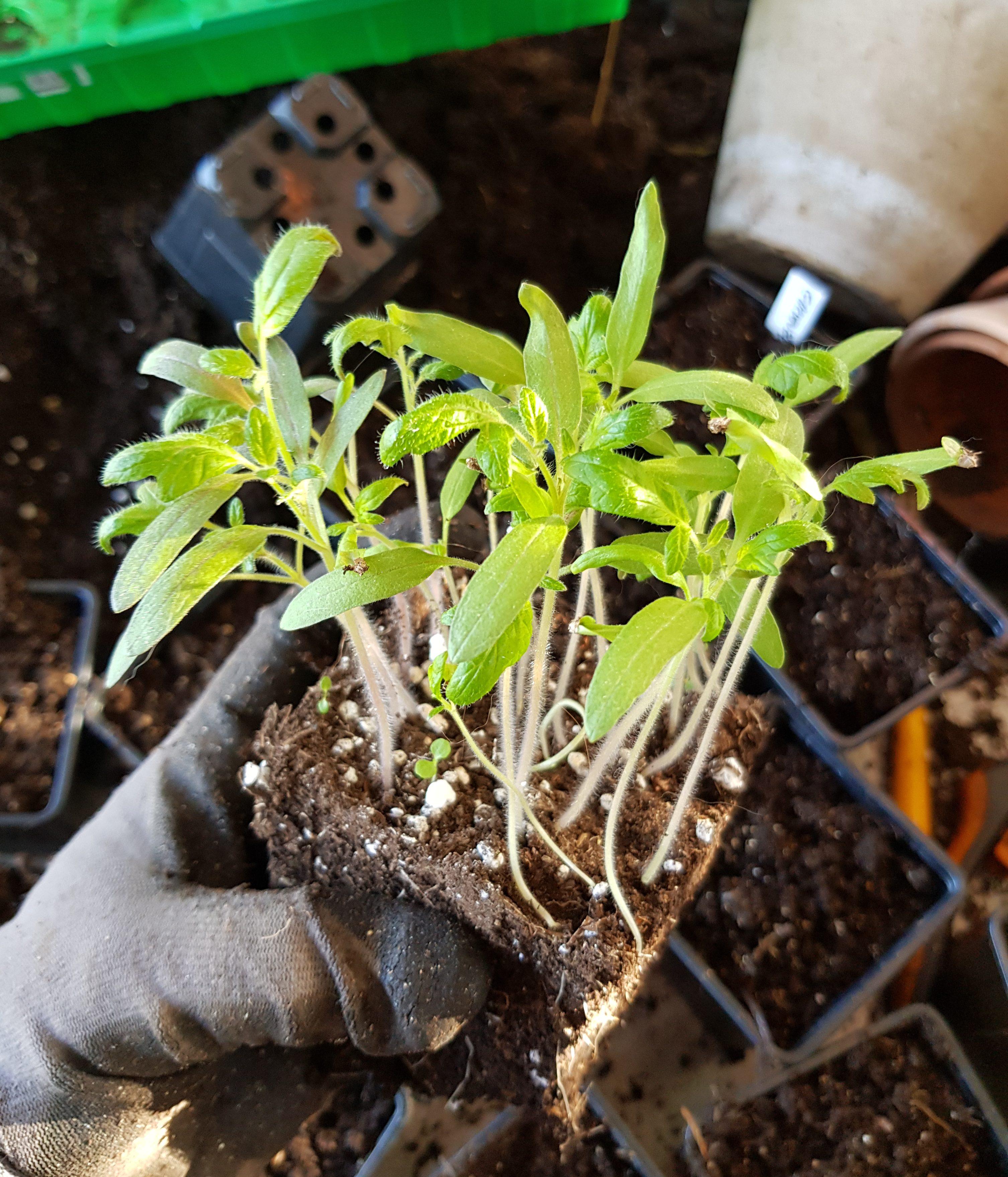 Tid for å prikle tomater som skal vokse seg store og sterke