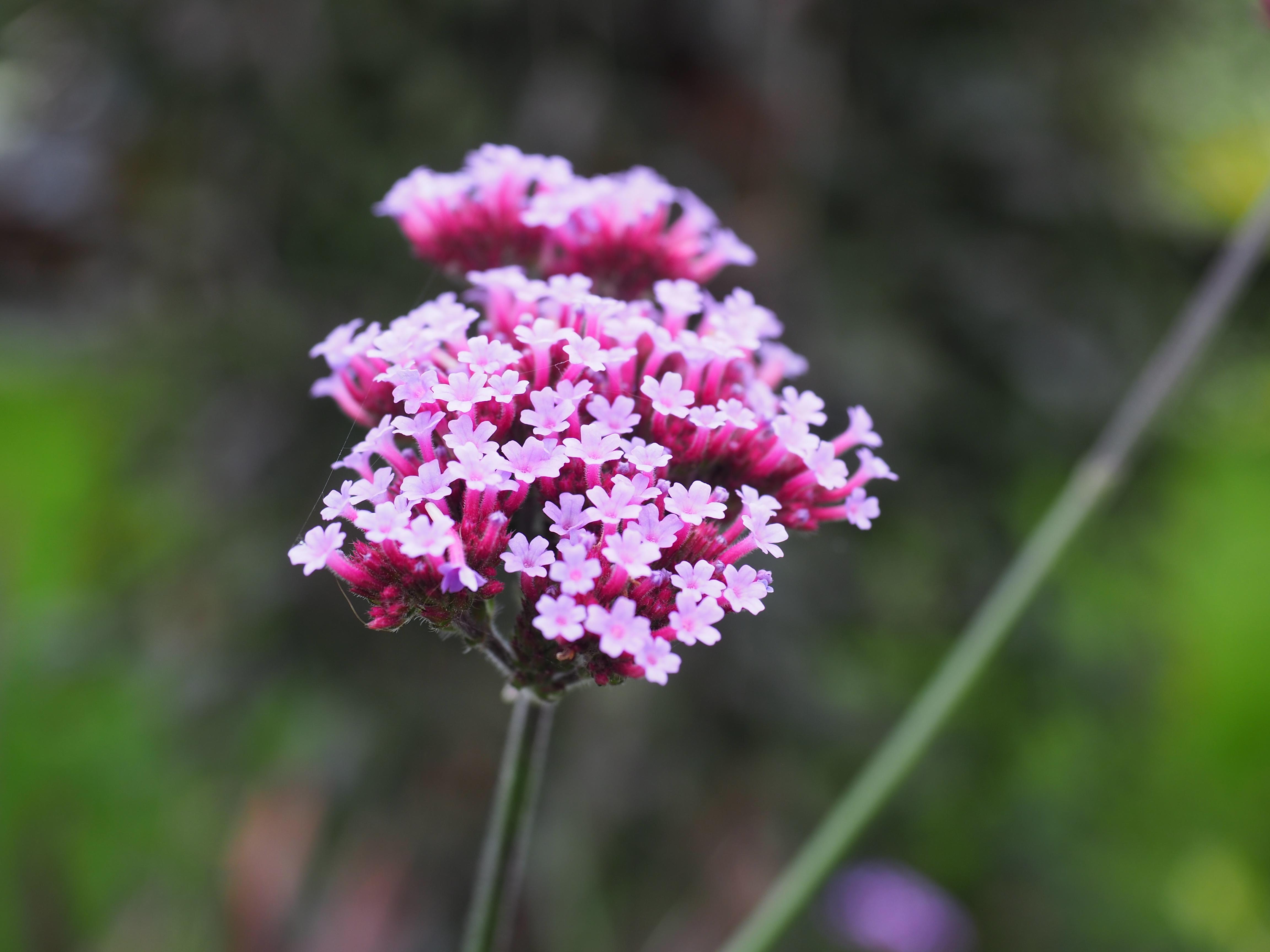 Stiklinger av Kjempeverbena er en rask vei til nye planter