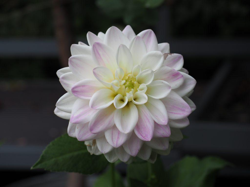 blomstring på dahlia