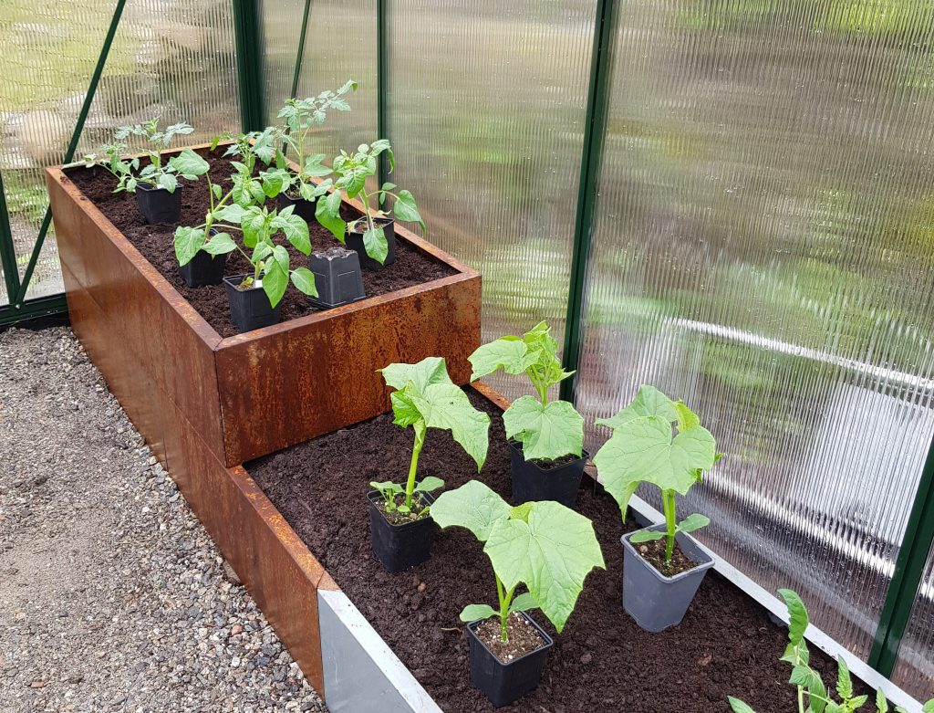 høste agurk