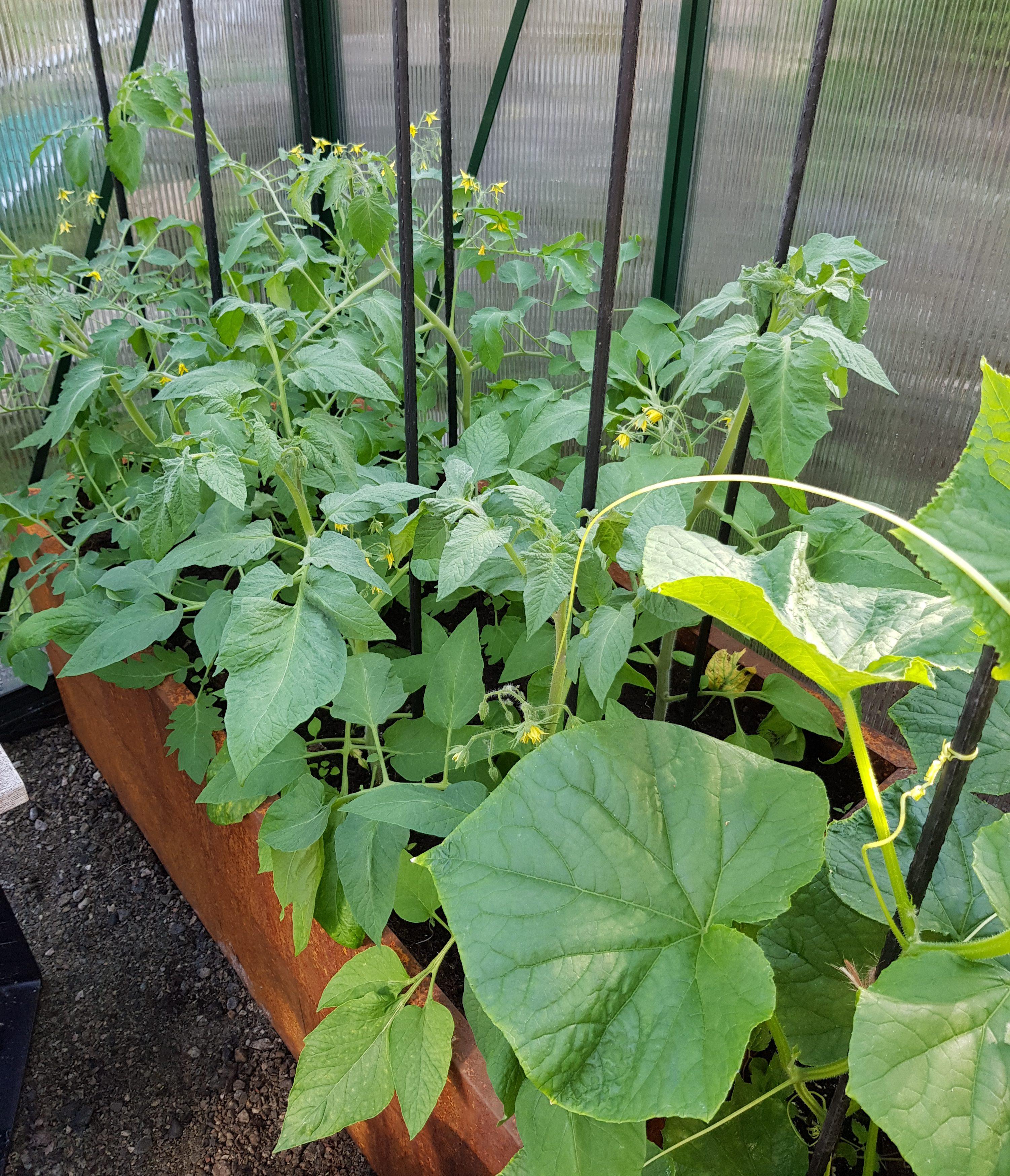 Flere tomater med nye planter — enklere blir det ikke