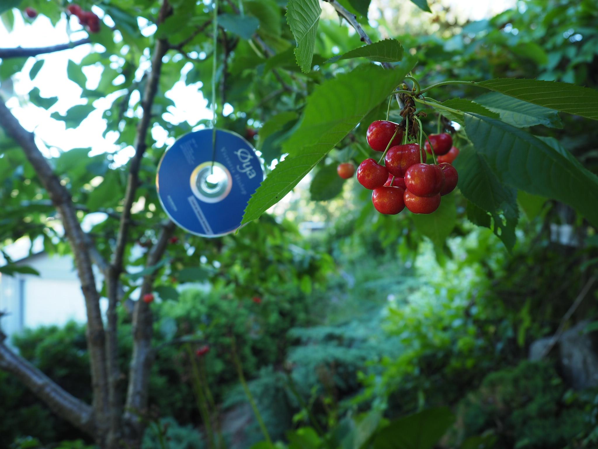 Kampen om å få modne kirsebær før fuglene tar dem