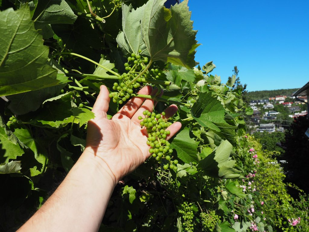 sommerbeskjæring av drueranke